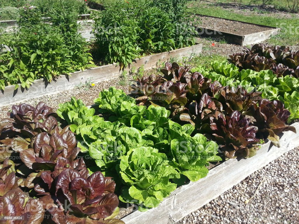 lettuce in raised bed garden stock photo