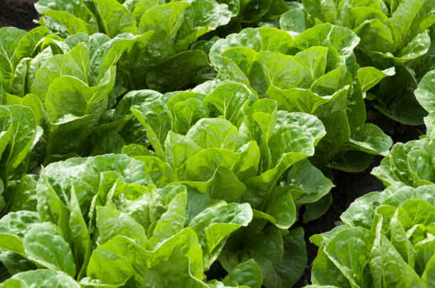 lettuce in rows in the vegetable garden - lettuce stock pictures, royalty-free photos & images