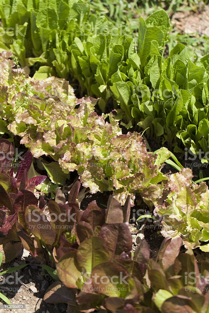 lettuce in rows stock photo
