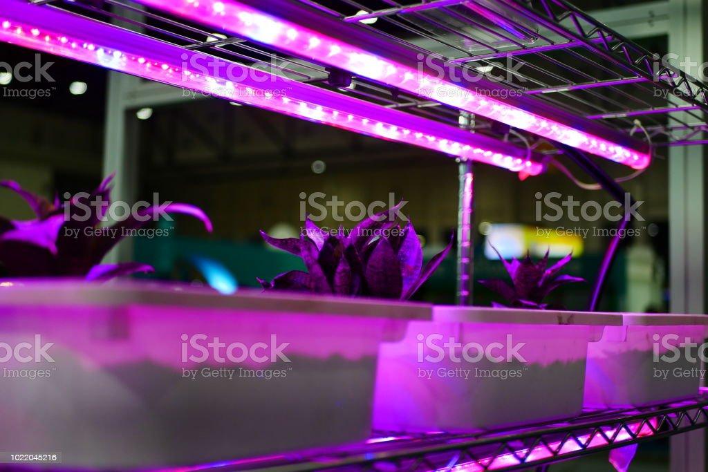 Lettuce is growing under LED light stock photo