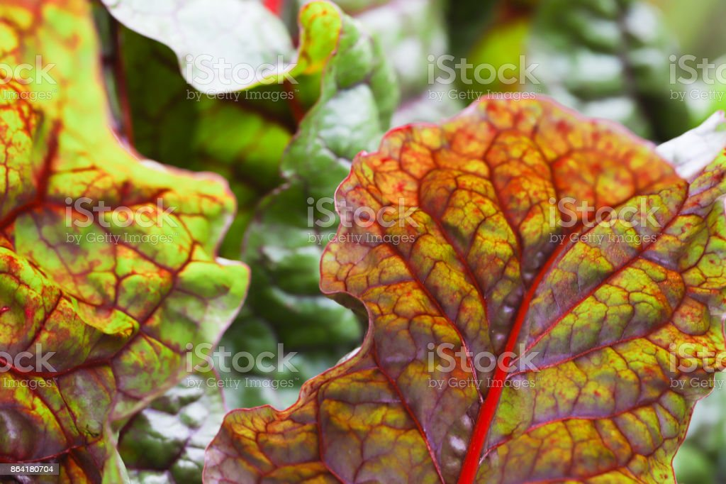 lettuce large chard leaves royalty-free stock photo