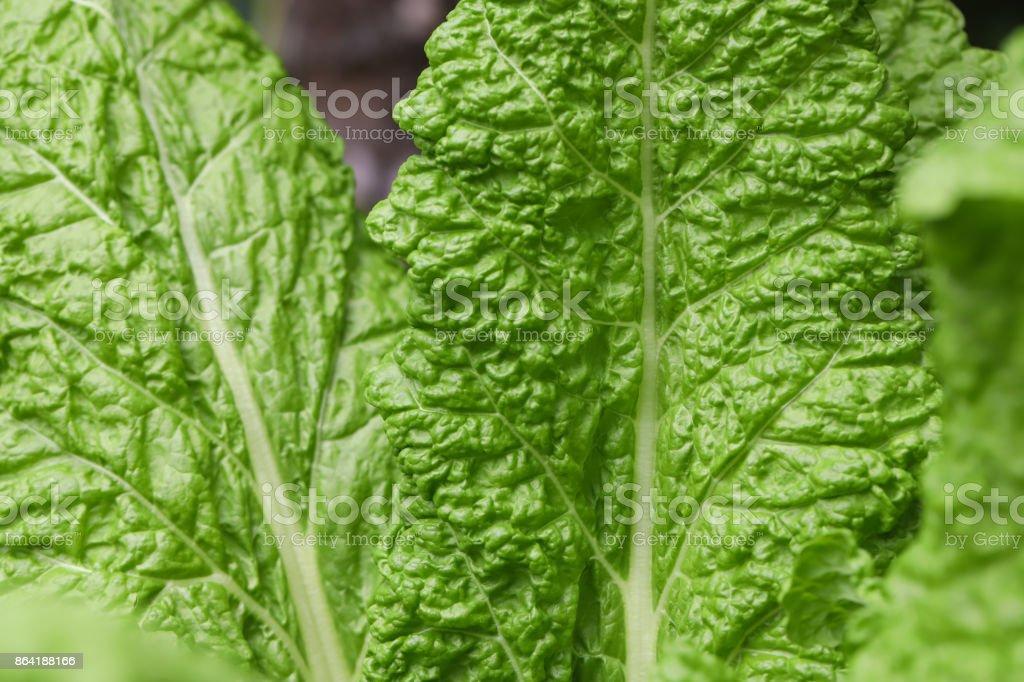 lettuce large chard leaves royalty-free stock photo