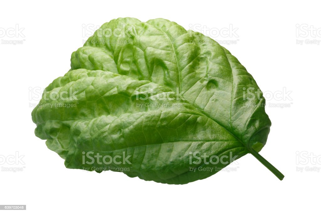 Lettuce leaf Bolloso Napoletano basil, path Giant-leaved Basil leaf known as Bolloso Napoletano, Valentino, Lettuce Leaf (Ocimum basilicum). Clipping path, shadowless, daylight color appearance Basil Stock Photo