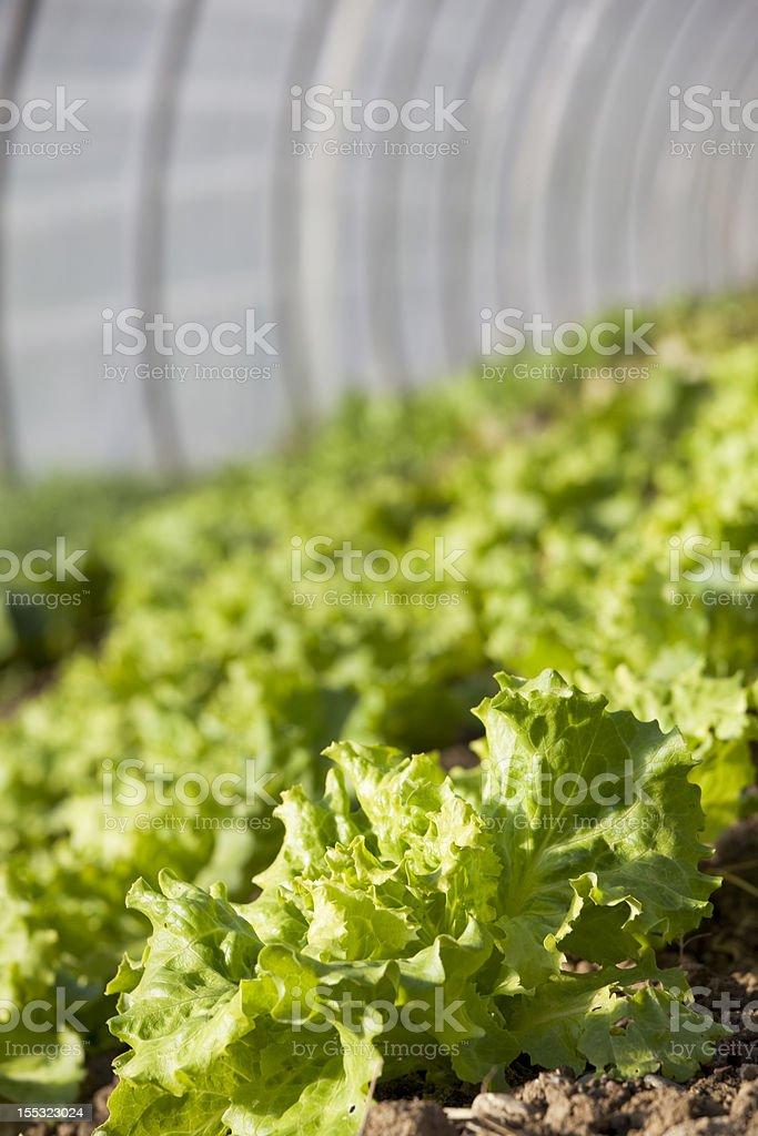 Lettuce - Organic Farm royalty-free stock photo