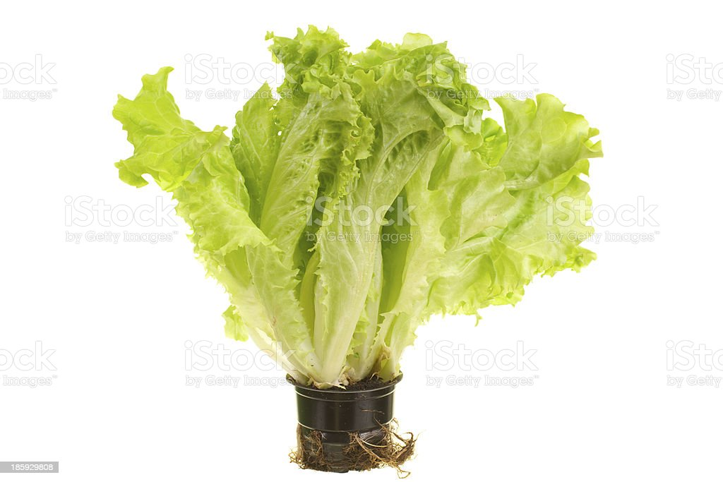 lettuce royalty-free stock photo