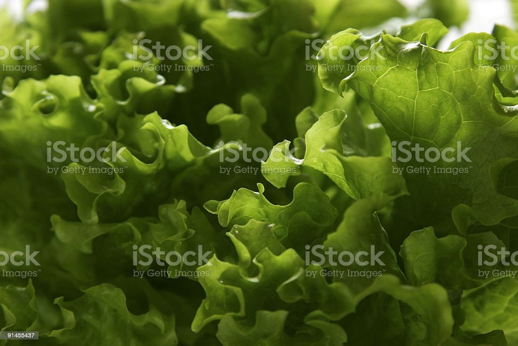 Lettuce. royalty-free stock photo