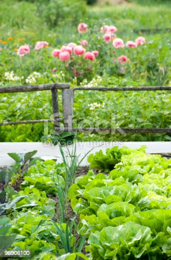 Lettuce Stock Photo & More Pictures of Backgrounds