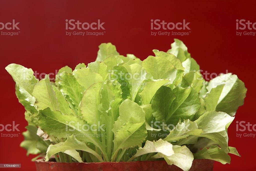 Lettuce Plant Seedlings in Pot royalty-free stock photo