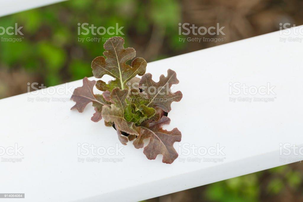 Lettuce salad plant, hydroponic vegetable leave, Salad leaf. stock photo