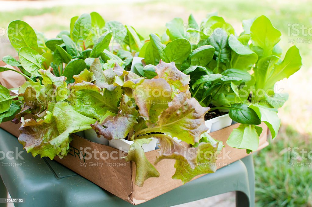 Lettuce Seedlings Wait to Be Planted stock photo
