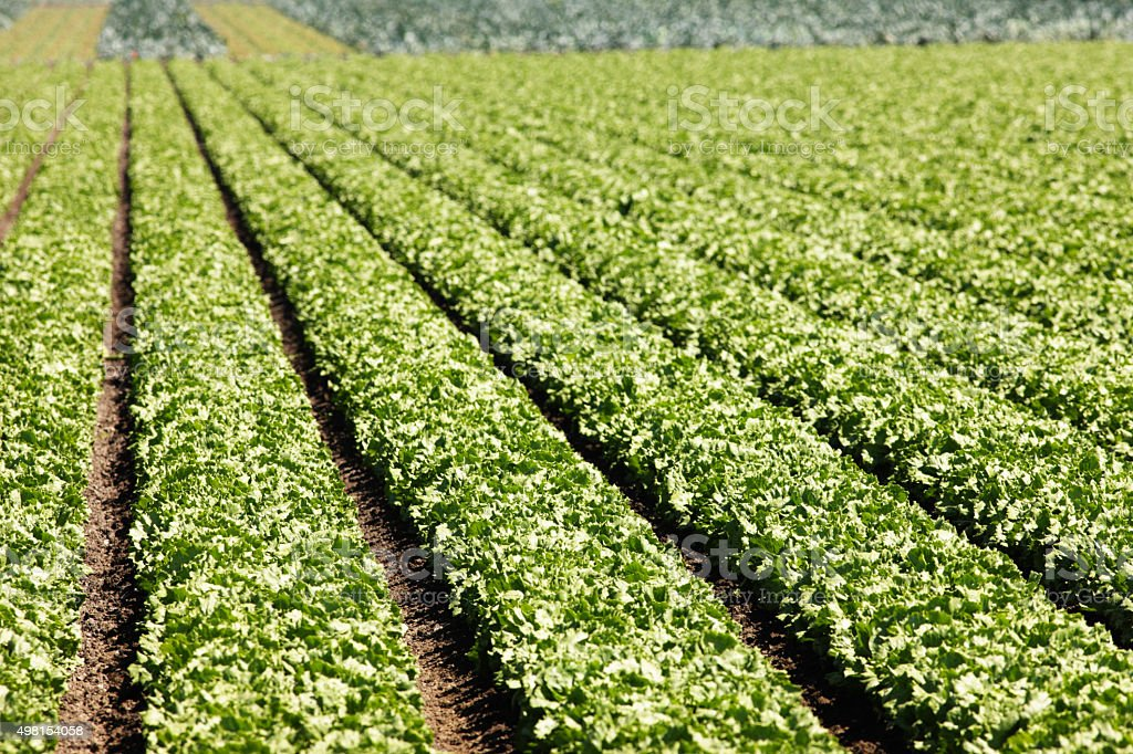 Lettuce Vegetable Crop Farm Agriculture stock photo