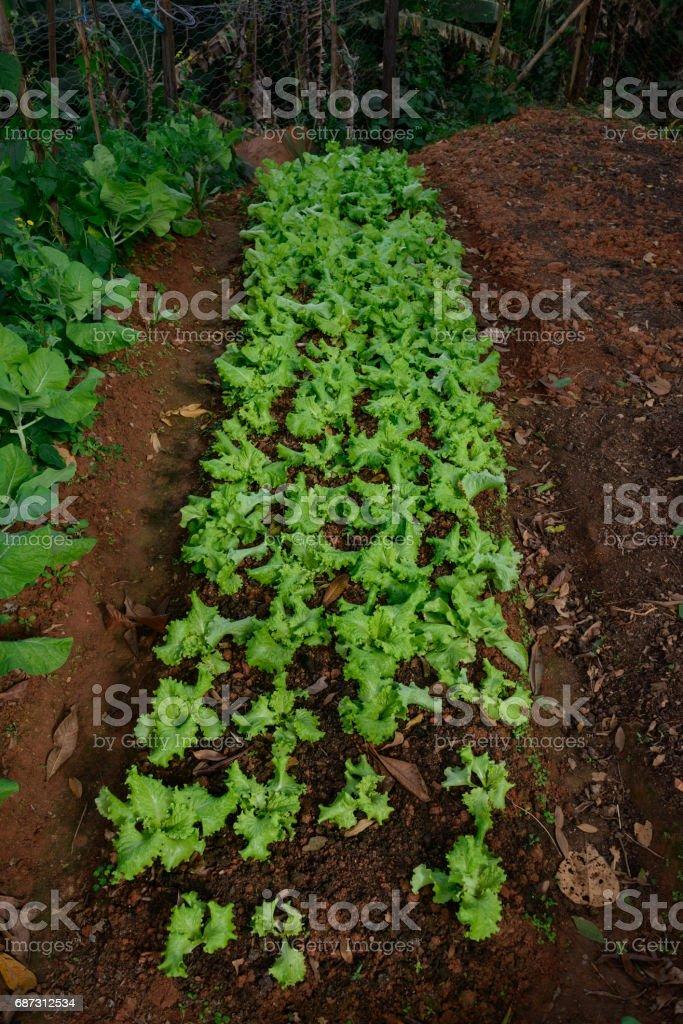Lettuce Vegetable Garden Homemade stock photo