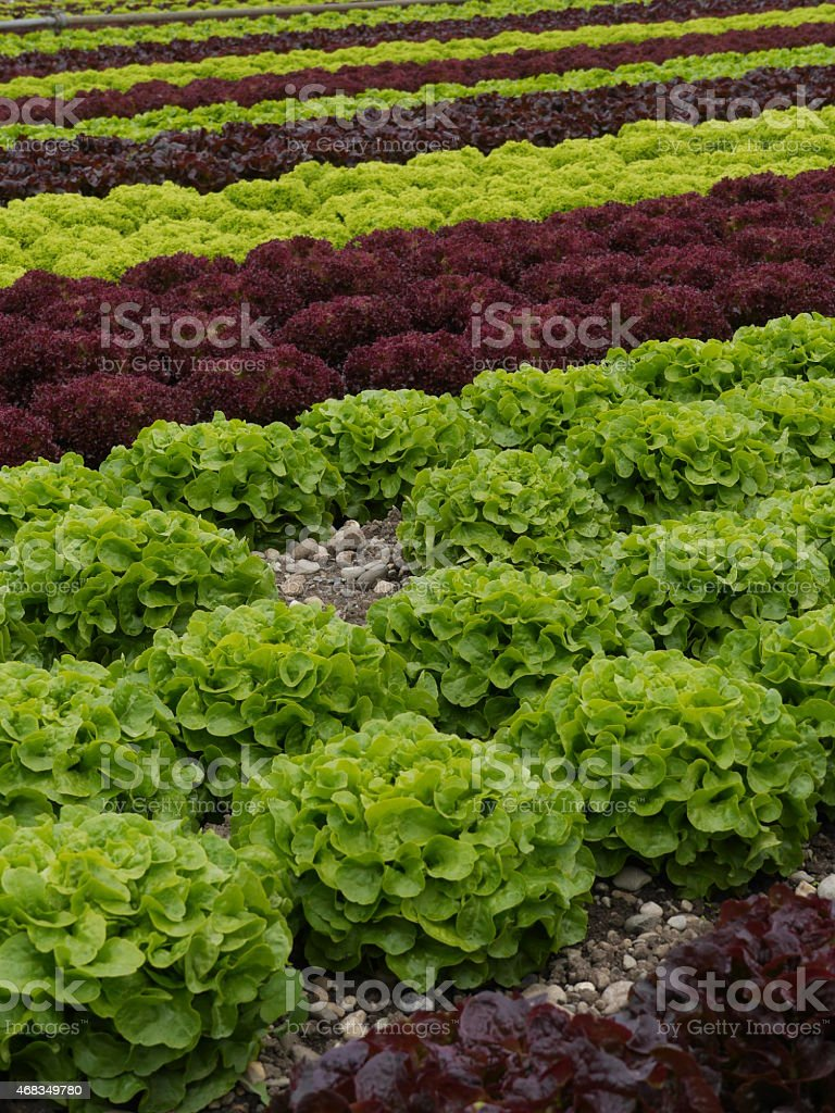 lettuces rows royalty-free stock photo