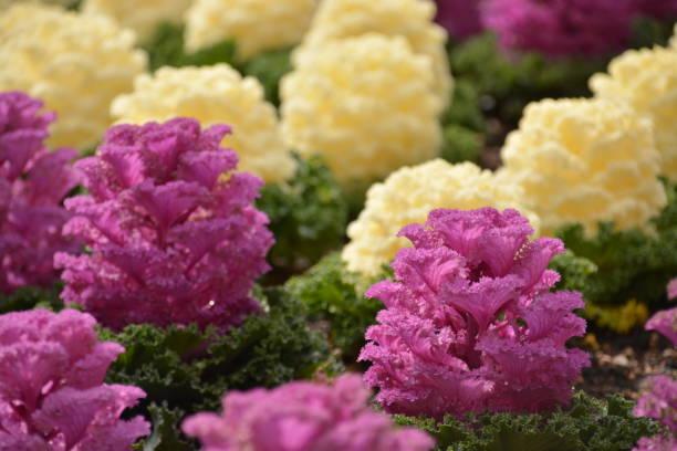 Planta decorativa tipo lechuga - foto de stock