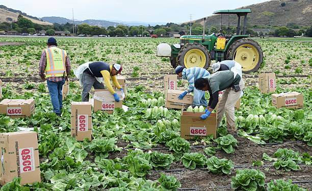 Letturc Harvest in central California Salinas, CA - USA; July 1, 2015: Seasonal field workers cut and box romaine lettuce. migratory workers stock pictures, royalty-free photos & images