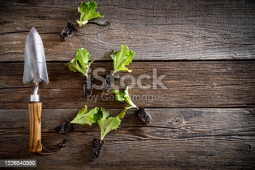 letucce seedlings sprouts with garden trowel ready plant in the garden orchard on rustic wooden board table