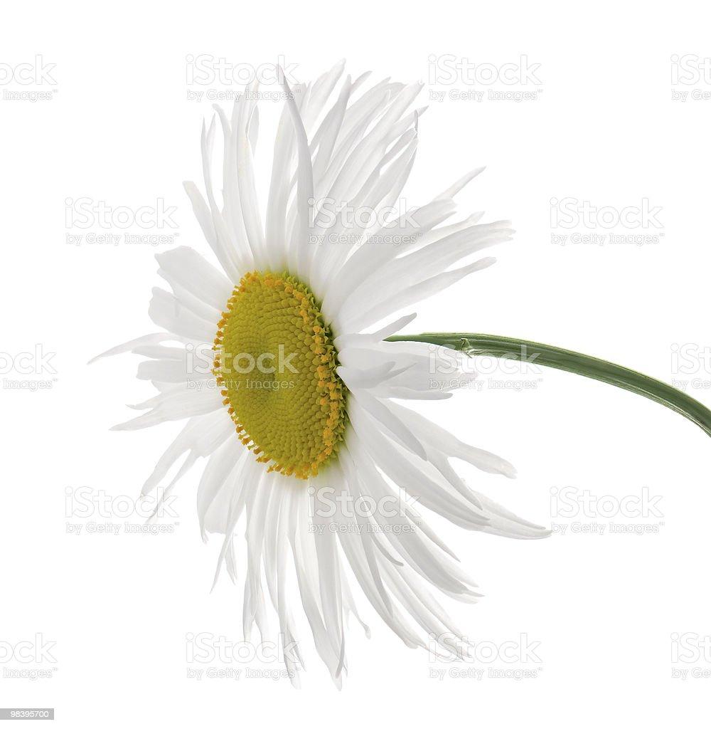 leucanthemum royalty-free stock photo