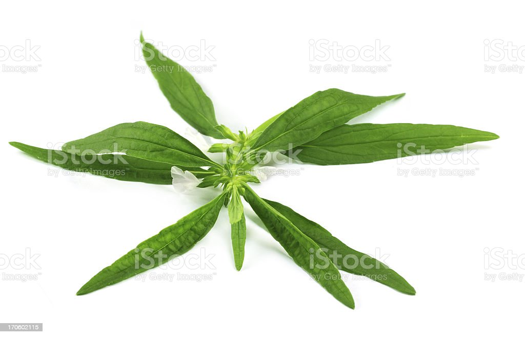 Leucas aspera or medicinal dondokolosh