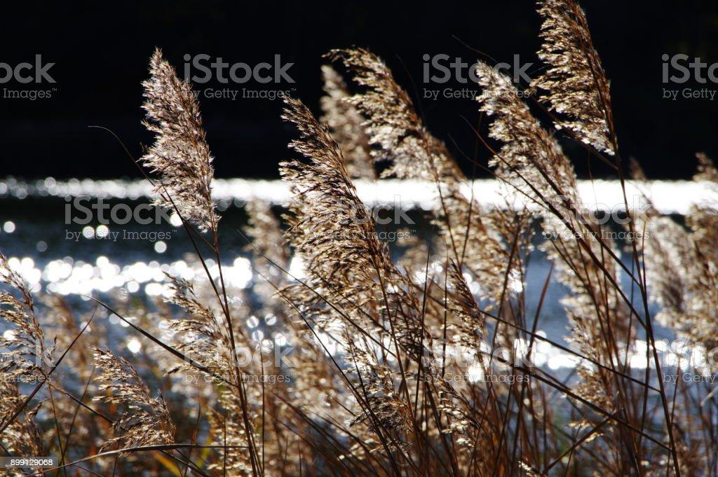 Leuchtendes Schilfgras am Seeufer stock photo