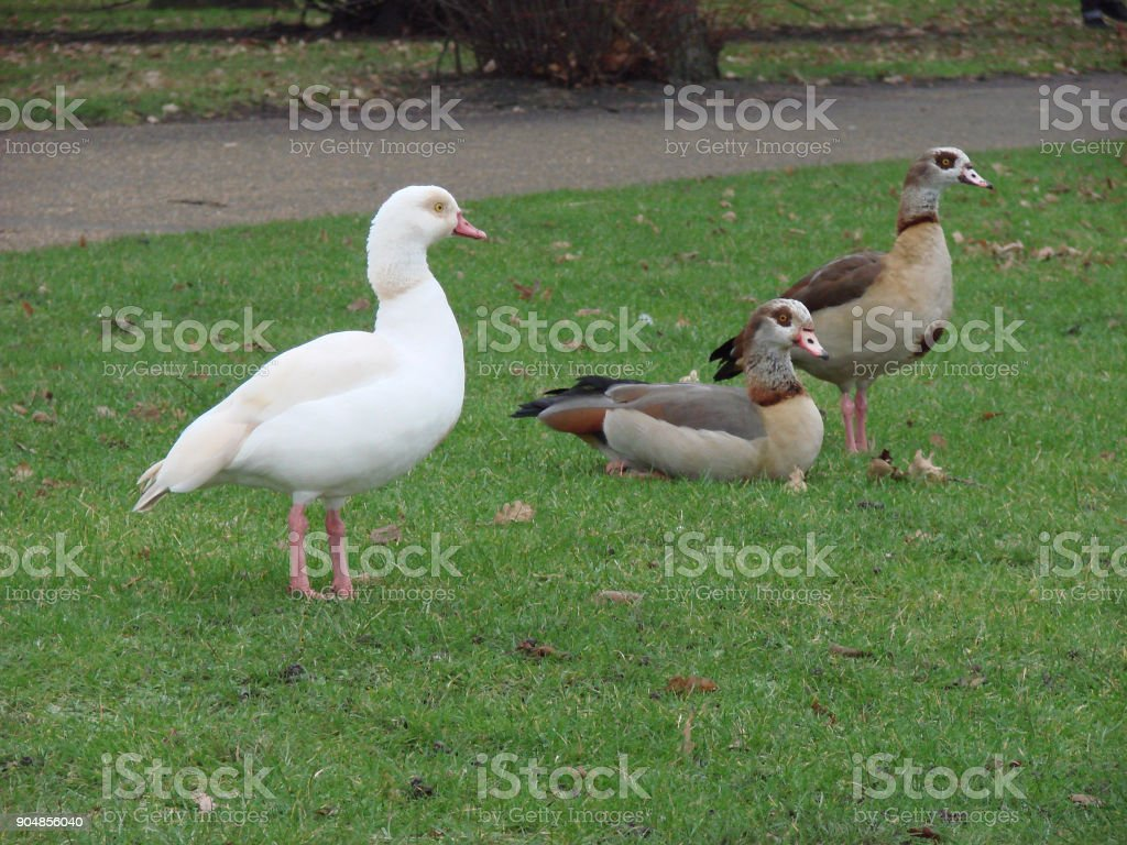 Leucistic white Egyptian goose standing near two normal-coloured Egyptian geese stock photo