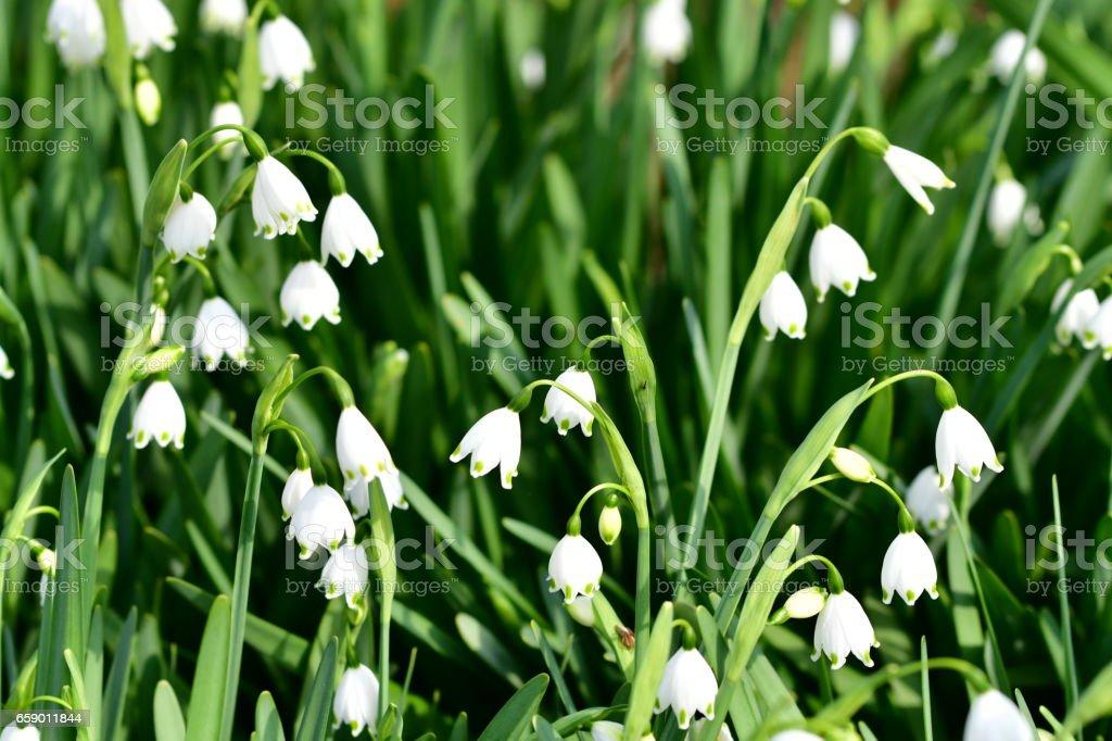 Leucojum vernum / Snowflake royalty-free stock photo
