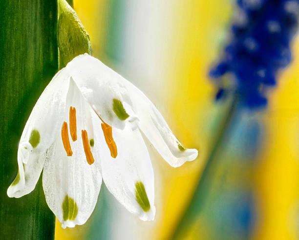 leucojum vernum weiße blüte - leucojum stock-fotos und bilder