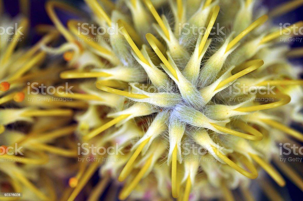 Leucospermum royalty-free stock photo