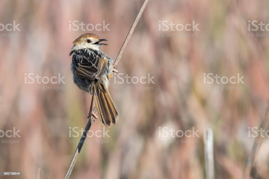 Levaillant's cisticola perched on a twig - Royalty-free Africa Stock Photo