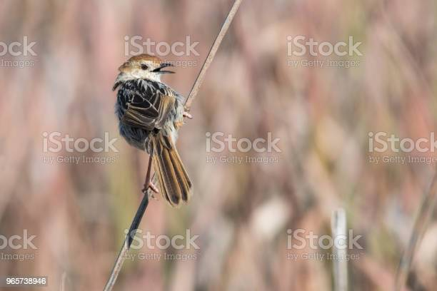 Levaillants Cisticola Perched On A Twig Stock Photo - Download Image Now