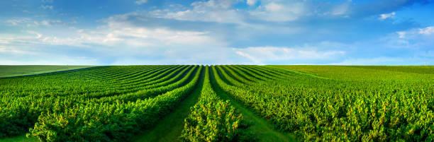 ebenenlinien johannisbeeren-plantage, produkte aus natürlichen früchten. - revierverhalten stock-fotos und bilder