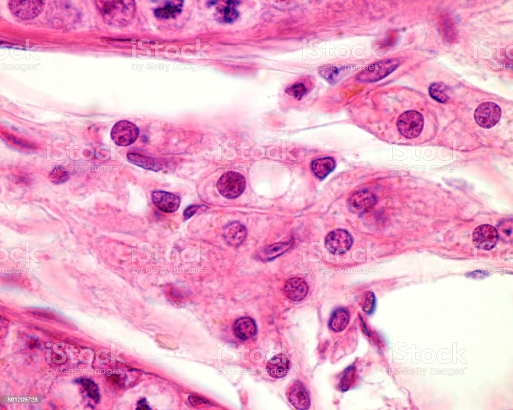 Leydig cells stock photo