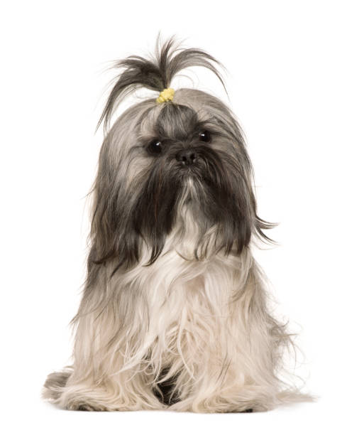 Lhasa apso 1 year old sitting in front of white background picture id962854562?b=1&k=6&m=962854562&s=612x612&w=0&h=jidm9yiqmfmxoxnf5pujcq8zvqyuj0hlpszk03xxmlo=