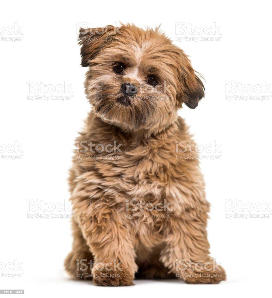 Lhasa apso cão, 8 meses de idade, sentado em frente ao fundo branco - Foto de stock de Animal royalty-free