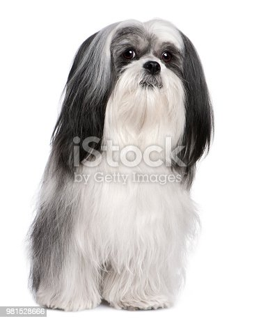 Lhasa Apso Lhasa Apso (4 years old) in front of white a background