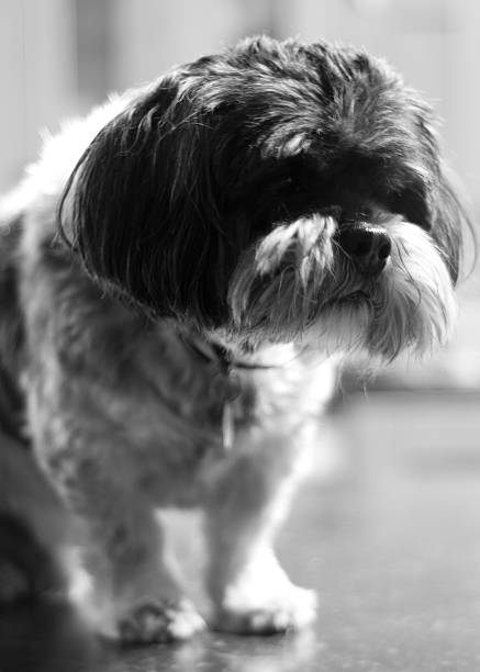 Lhasa Apso stock photo