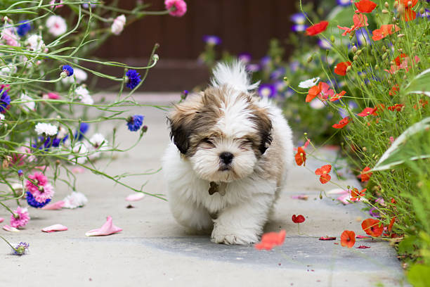 Lhasa apso puppy walking in a garden foto