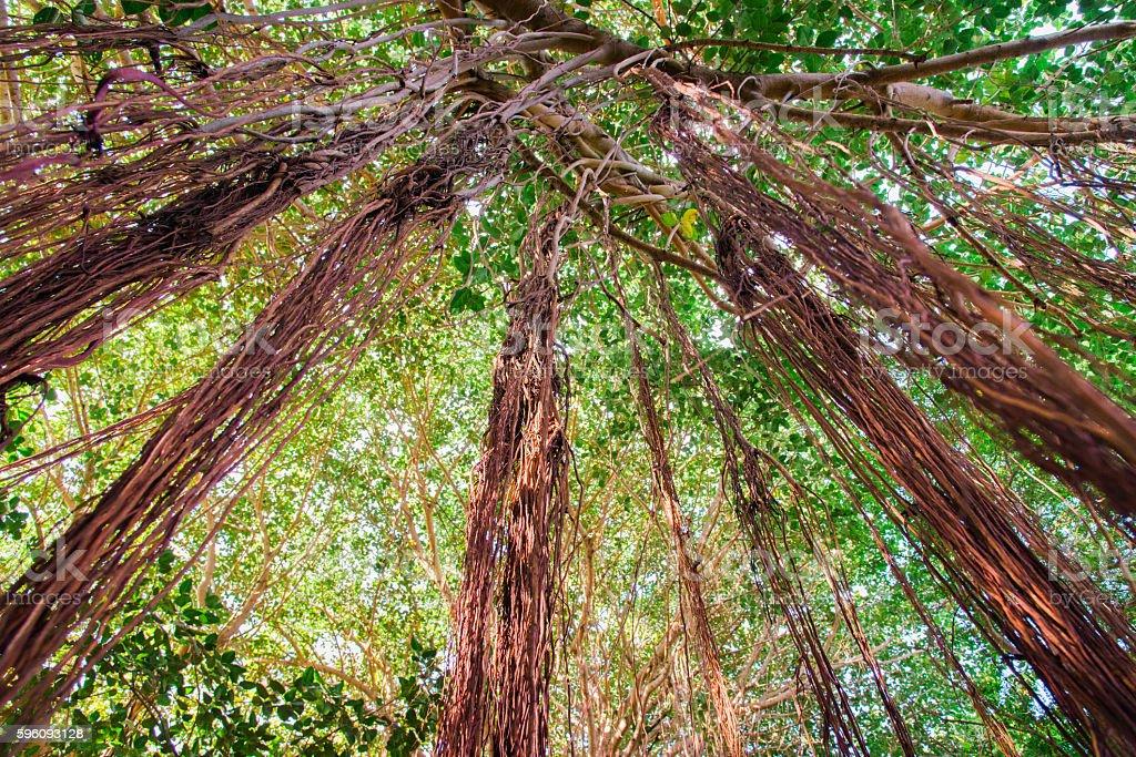 Liana Jungle Tropical Rainforest Background royalty-free stock photo