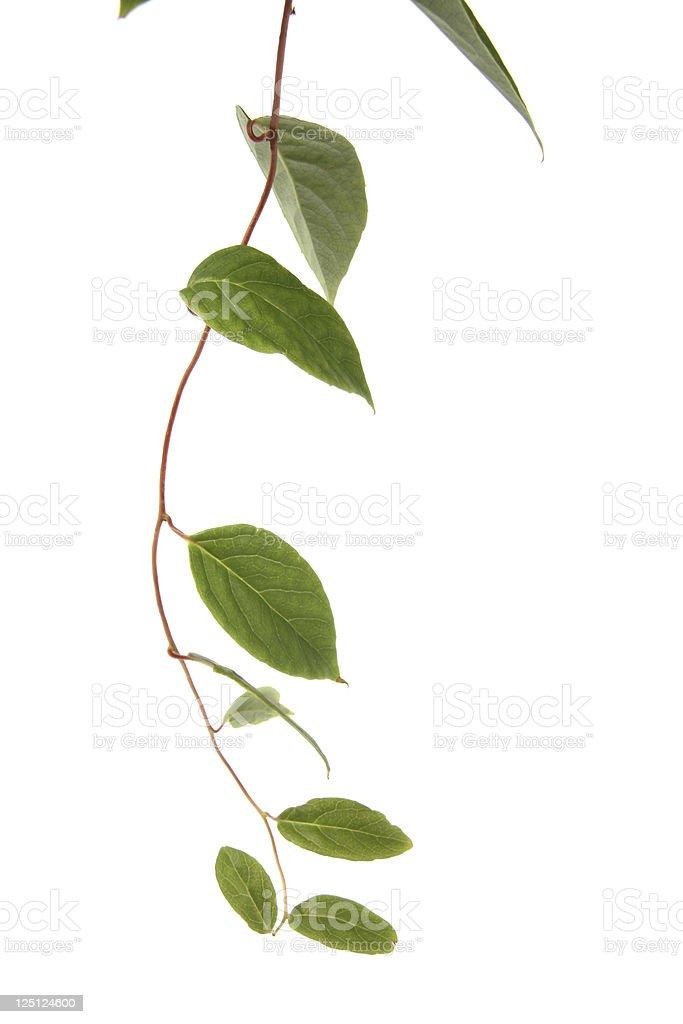 liana plant stock photo