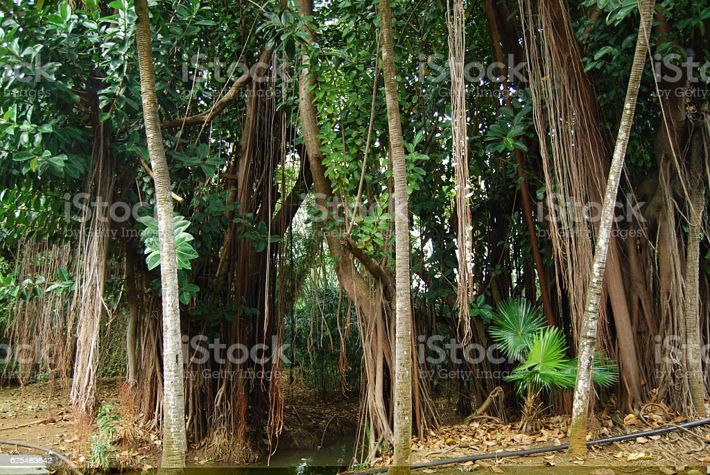 Liana Tangled Trees In Mauritius Stock Photo Download Image Now Istock