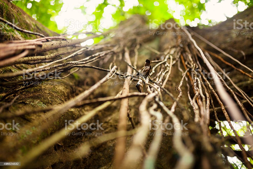 Lianas In Tropical Rainforest stock photo