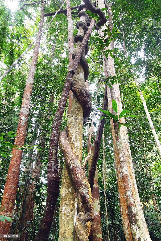 Lianas winding through the rainforest. stock photo