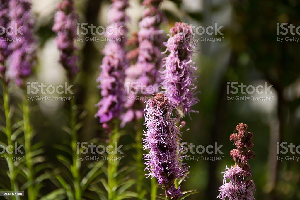 Liatris Ligulistylis, several stems in garden, shallow depth of field. royaltyfri bildbanksbilder