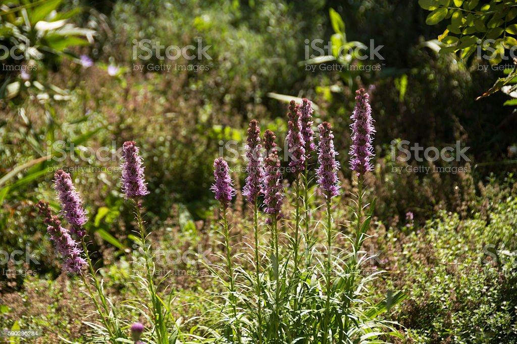 Liatris Ligulistylis, several stems, mixed garden plant background. royaltyfri bildbanksbilder