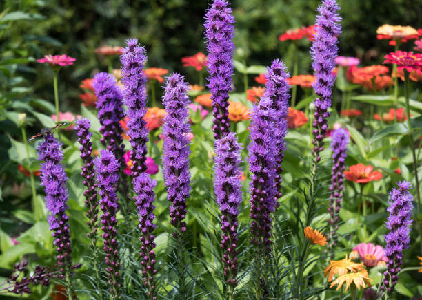 Liatris spicata flowers in the summer garden Liatris spicata flowers in the summer garden perennial stock pictures, royalty-free photos & images