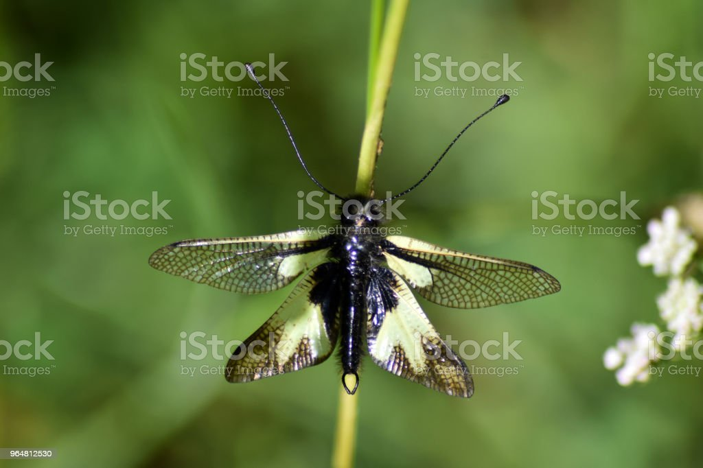 Libellula royalty-free stock photo