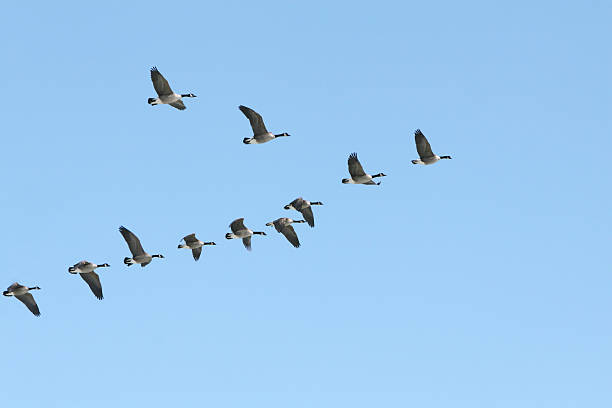 Liberty! Canada geese in v-formation. flock of birds stock pictures, royalty-free photos & images