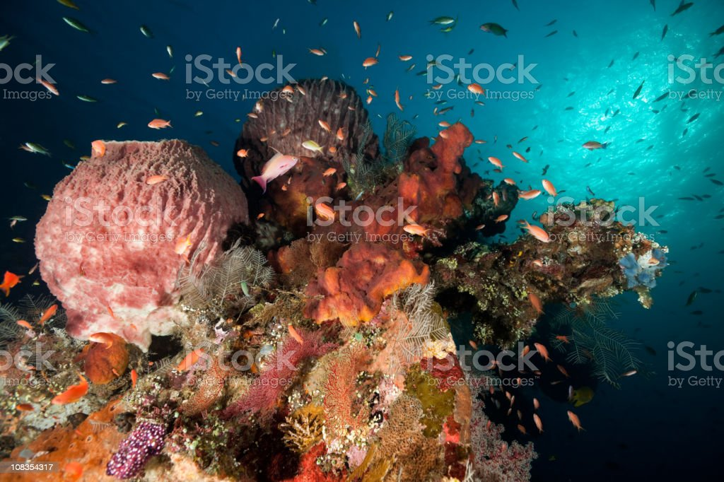 USAT Liberty Wreck, colourful Sponges and Sea Goldies, Tulamben, Bali stock photo