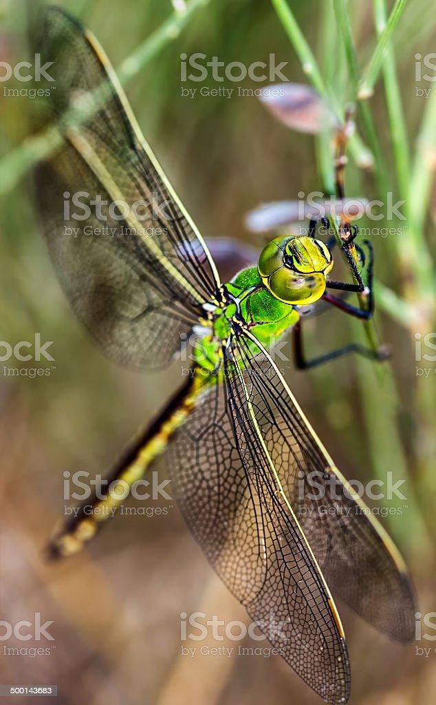 Libélula verde stock photo