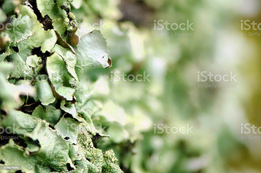 Lichen closeup stock photo