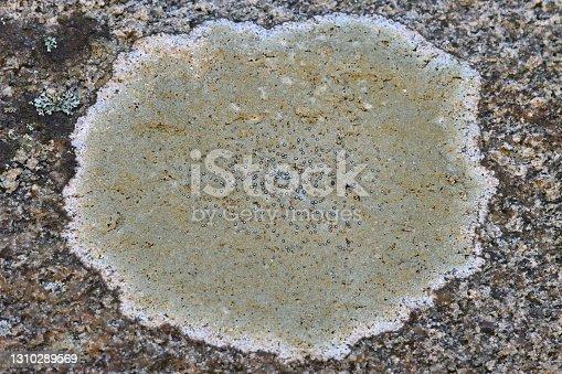 istock Lichen floret on granite 1310289569